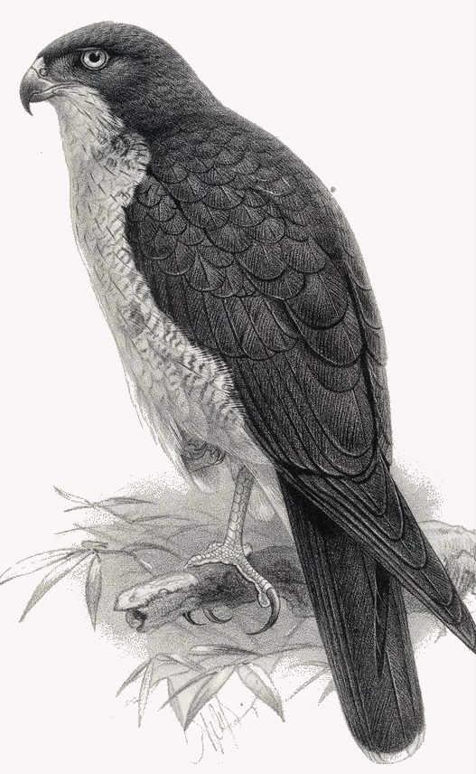 Hawk fabel